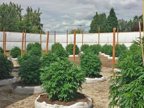 Example of outdoor grow system by Genesis Pharms.